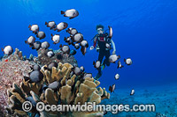 Diver and Damselfish Hawaii Photo - David Fleetham
