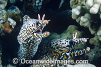 Dragon Moray photo