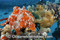 Giant Frogfish mimicking sea sponge photo