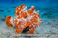 Giant Frogfish photo
