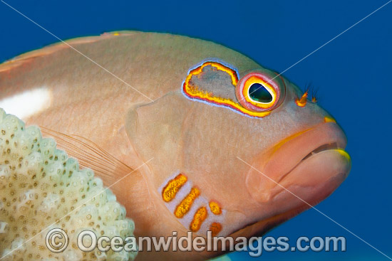 Ring-eyed Hawkfish photo