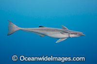 Remora Photo - David Fleetham