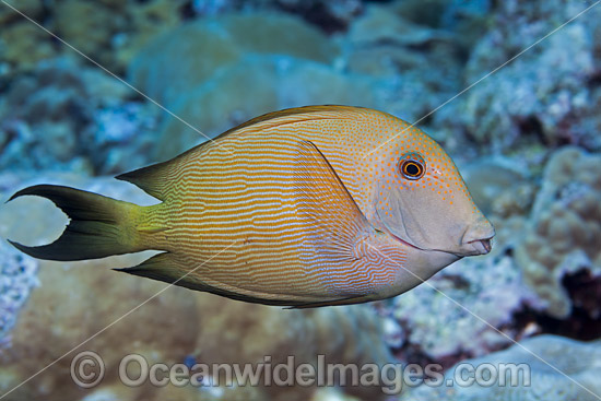 Striated Surgeonfish (Ctenochaetus striatus). Also known as a Striped Bristletooth. Photo taken off Hawaii, Pacific Ocean, USA.
