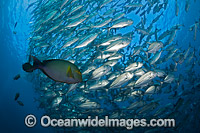 Yellowfin Surgeonfish with Bigeye Jacks photo