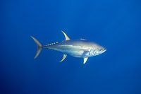 Yellowfin Tuna Photo - David Fleetham