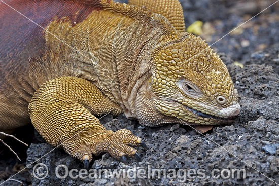 Galapagos Land Iguana (Conolophus subcristatus). Endemic to the Galßpagos Islands. Photo taken on the island of Santa Cruz. It can also be found on Fernandina, Isabela, North Seymour, Baltra, and South Plaza. Photo - David Fleetham