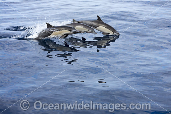Short-beaked Common Dolphins (Delphinus delphis). Found in warm-temperate and tropical seas throughout the world. Photo taken off Mexico. Photo - David Fleetham
