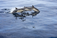 Short-beaked Common Dolphin image