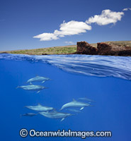 Spinner Dolphins Photo - David Fleetham