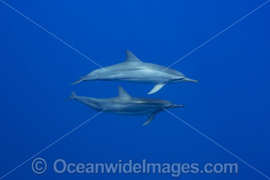 Spinner Dolphins (Stenella longirostris). Also known as Long-snouted Spinner Dolphin. Found in tropical waters around the world. Photo taken off Hawaii, Pacific Ocean, USA.