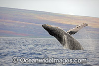 Humpback Whale Breaching photo