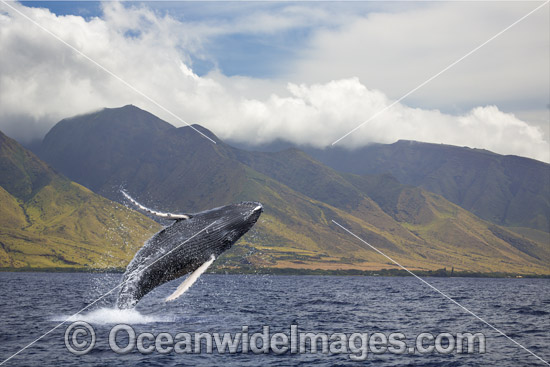 Humpback Whale (Megaptera novaeangliae), breaching off the coast of West Maui, Hawaii, Pacific Ocean, USA. Found throughout the world's oceans in both tropical and polar areas, depending on the season. Classified as Vulnerable on the IUCN Red List. Photo - David Fleetham
