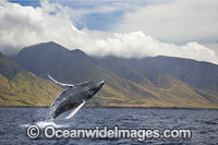 Humpback Whale Breaching Photo - David Fleetham