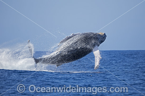 Humpback Whale (Megaptera novaeangliae), breaching on surface. Hawaii, USA. Found throughout the world's oceans in both tropical and polar areas, depending on the season. Classified as Vulnerable on the IUCN Red List. Photo - David Fleetham
