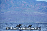 Humpback Whales on surface image