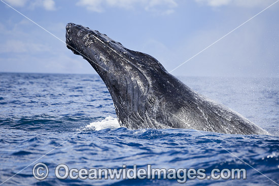 Humpback Whale (Megaptera novaeangliae), spy hopping on the surface. Photo taken off Hawaii, Pacific Ocean. Classified as Vulnerable on the 2000 IUCN Red List. Photo - David Fleetham