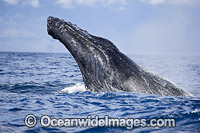 Humpback Whales spy hopping Photo - David Fleetham