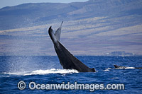 Humpback Whales tail slapping image