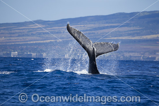 Humpback Whale (Megaptera novaeangliae), tail slapping on the surface. Photo taken off Hawaii, Pacific Ocean. Classified as Vulnerable on the 2000 IUCN Red List. Photo - David Fleetham