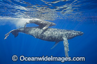 Humpback Whale mother with calf photo