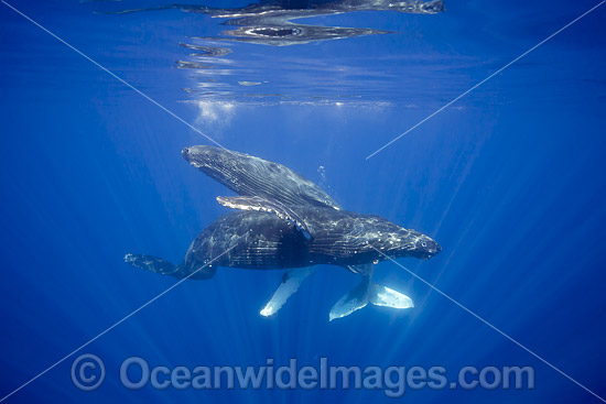 Humpback Whale (Megaptera novaeangliae), underwater. Found throughout the world's oceans in both tropical & polar areas, depending on the season. Photo taken Hawaii. Classified as Vulnerable on the IUCN Red List. Photo - David Fleetham