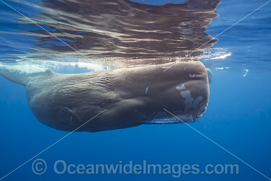 Sperm Whale (Physeter macrocephalus) underwater. Found in all oceans of the world, prefering ice-free waters. Photo taken in the Indian Ocean off Sri Lanka. Classified as Vulnerable on the IUCN Red List. Photo - David Fleetham