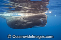 Sperm Whale underwater photo