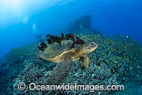 Surgeonfish cleaning Green Sea Turtle Photo - David Fleetham