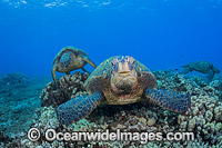 Green Sea Turtle at cleaning station Photo - David Fleetham