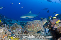 Green Sea Turtle and Bull Shark Photo - David Fleetham
