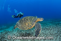 Diver with Green Sea Turtle Photo - David Fleetham