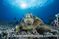 Green Sea Turtle Photo - David Fleetham