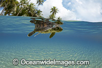 Green Sea Turtle hatchling Photo - David Fleetham