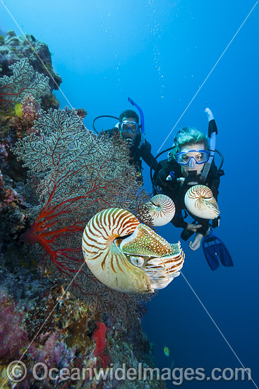 Scuba Divers observing several Chambered Nautilus (Nautilus pompilius). Photo taken off Palau, Micronesia. Photo - David Fleetham