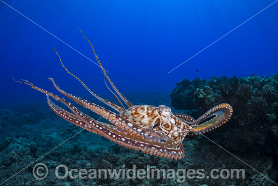 Day Octopus (Octopus cyanea), swimming in mid water. Also known as Big Blue Octopus. Found in Pacific and Indian Oceans, from Hawaii to the eastern coast of Africa. Photo taken off Hawaii, Pacific Ocean. Photo - David Fleetham