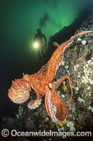 Diver and Giant Pacific Octopus image
