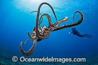 Day Octopus image