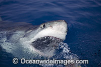 Great White Shark on surface Photo - David Fleetham