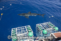 Great White Shark cages Photo - David Fleetham