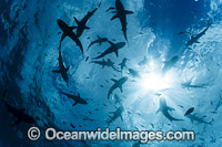 Schooling Gray Reef Sharks photo