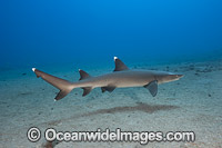 Whitetip Reef Shark Hawaii Photo - David Fleetham