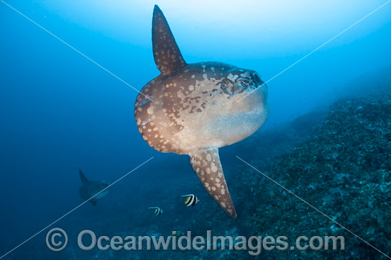 Ocean Sunfish (Mola mola). Found in tropical and temperate waters worldwide. Photo taken at Crystal Bay, Nusa Penida, Bali, Indonesia. Within the Coral Triangle. Photo - David Fleetham