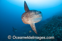 Ocean Sunfish Photo - David Fleetham