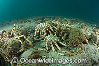 Giant Spider Crab shells Photo - Gary Bell