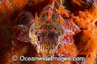 Marble Dragonet Victoria Photo - Gary Bell