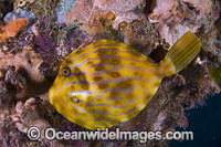 Mosaic Leatherjacket amongst colourful sponges photo