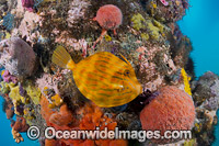 Mosaic Leatherjacket amongst sponges photo