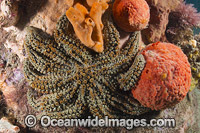 Eleven-arm Seastar Australia Photo - Gary Bell