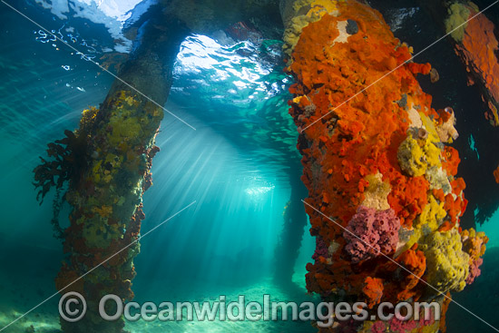 Sun rays filter through the surface on to the pylons of Blairgowrie Jetty, decorated in colourful sea sponges and sea weed. Port Phillip Bay, Mornington Peninsula, Victoria, Australia. Photo - Gary Bell