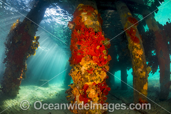 Sun rays filter through the surface on to the pylons of Blairgowrie Jetty, decorated in colourful sea sponges and sea weed. Port Phillip Bay, Mornington Peninsula, Victoria, Australia.